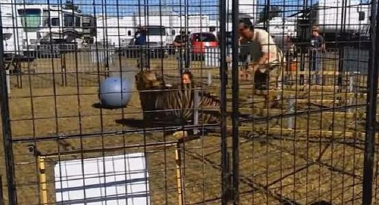 El aterrador momento en que un tigre ataca a su domadora