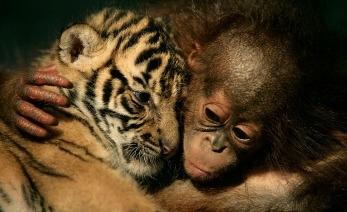 """CISARUA, INDONESIA - FEBRUARY 26: Dema  (male tiger-left) -the 26-day-old endangered Sumatran Tiger (panthera tigris sumatrae) Cub born at """"Taman Safari Indonesia"""" or Indonesia Safari Park - and Irma (female orang utan - right) -the 5-month-old Orang Utan born at the same park- are seen hugging in the Nursery Room of the Park's Animal Hospital, February 26, 2007 in Cisarua, Bogor Regency, West Java, Indonesia. The two tiger-cubs are rejected by their tiger-mother Cicis which is also born in the park 9 years ago. The two Orang Utans are rejected by their mothers as well. Sumatran Tiger (panthera tigris sumatrae) is critically endangered animal with a population of about 400.  Taman Safari Indonesia or Indonesia Safari Park was opened in 1986 in a 146 hectares land around 80 km from Capital City Jakarta. It is the biggest safari park in South East Asia with 2,783 animals as its collection. (Photo by: Dimas Ardian/Getty Images)"""