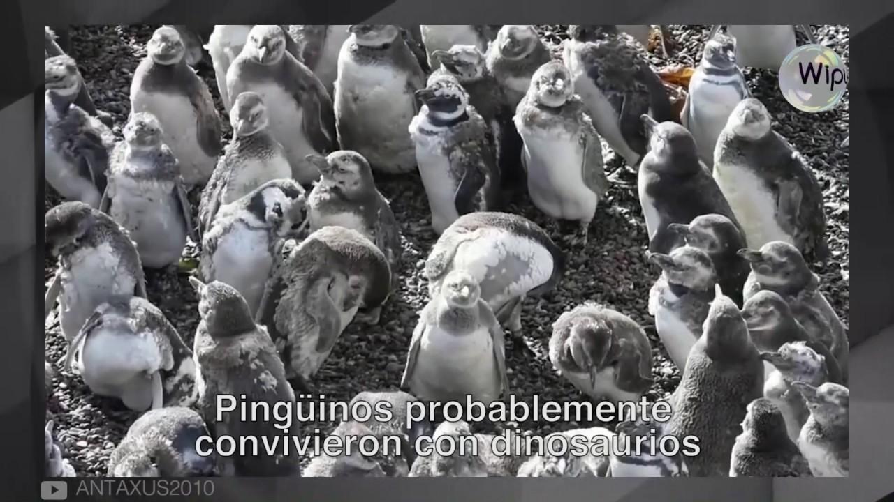 Video: Pingüinos probablemente convivieron con dinosaurios