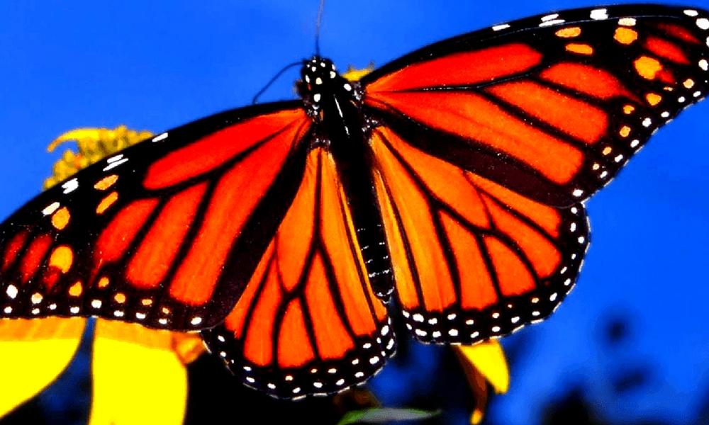 5 santuarios para visitar a la mariposa monarca en diciembre