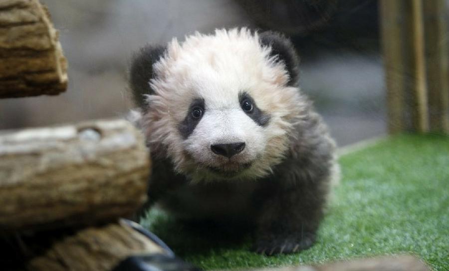Primer bebé panda de Francia, panda que ladra, Panda bebé, Pandita, primer panda en Francia, panda francés