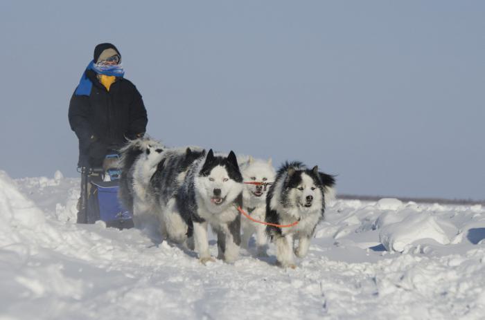 ¿Perros en peligro de extinción?Científicos rusos salvan a raza de perros de caza 300576606fdc0e9e