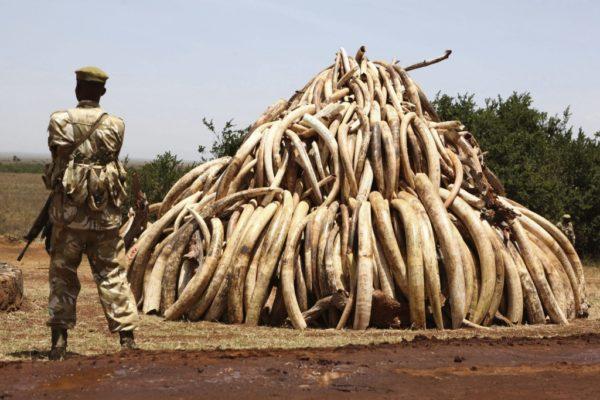 Cazador ilegal es cazado y devorado por leones en Sudáfrica 557193_kenia_queman_marfil_caza_furtiva-1024x683-600x400