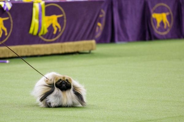 Galería Westminster Kennel Club Dog Show image-600x400