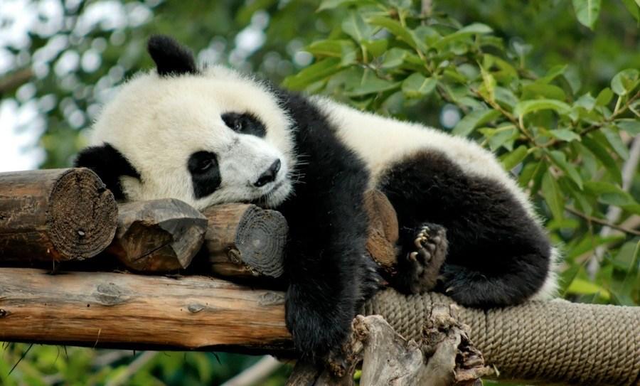 ¿Perros en peligro de extinción?Científicos rusos salvan a raza de perros de caza panda-1-wipy