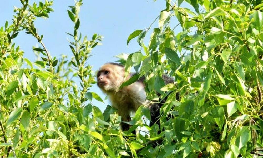 mono capuchino de reforma, mono capuchino, se busca mono capuchino, mono capuchino CDMX