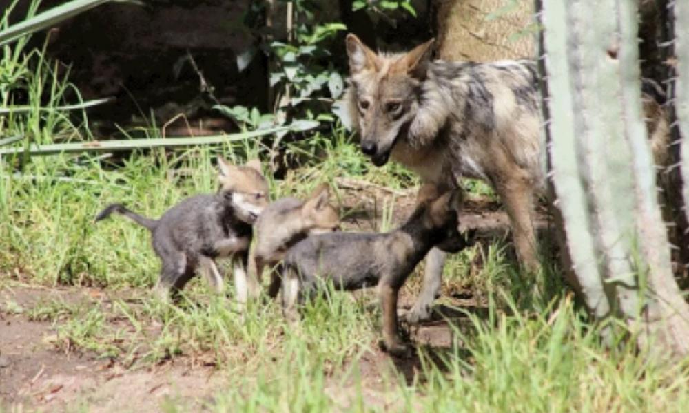 5e0a0495ea87 Nacen en cautiverio cuatro crías de lobo gris mexicano